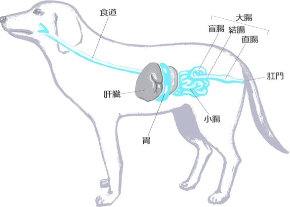 犬の消化器