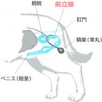 犬、前立腺炎