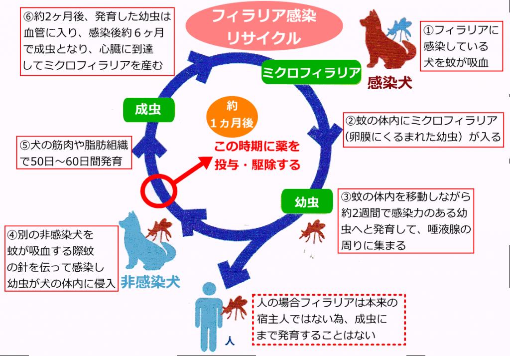 フィラリア感染のリサイクル