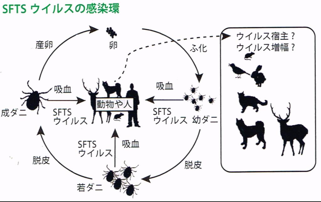 SFTSウイルスの感染源