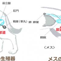 犬の尿道炎